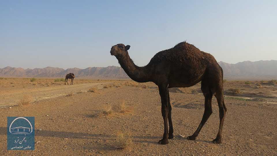 شتر و شتر سواری در کویر مصر