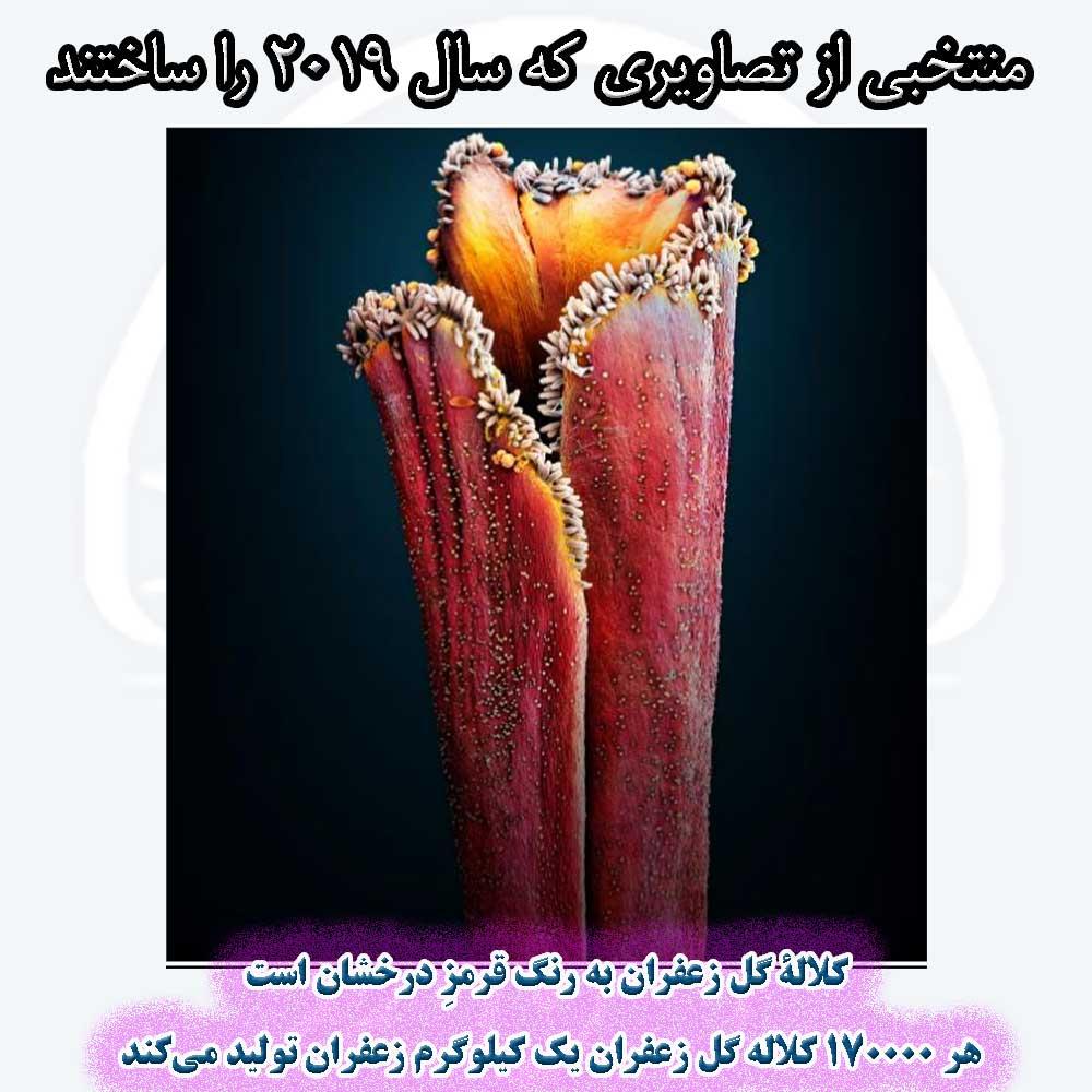کلالۀ گل زعفران به رنگ قرمزِ درخشان